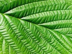 blad (folium)