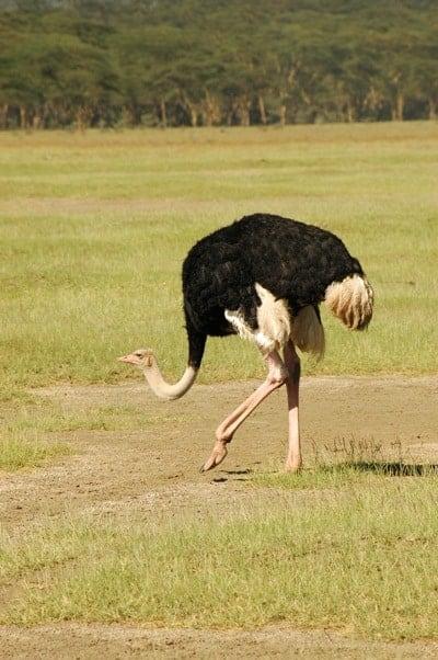 struisvogel2